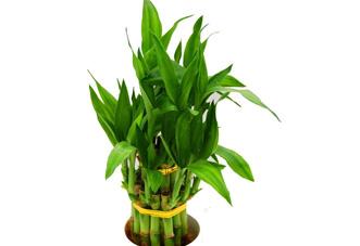 小型花木 富贵竹