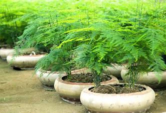 小型花木 文竹