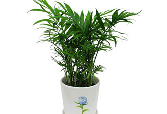 小型花木 袖珍椰子