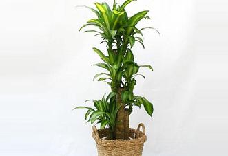 中型花木 巴西苗