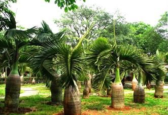 中型花木 三角椰子