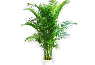 中型花木 夏威夷椰子