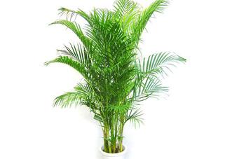 中型花木 散尾葵