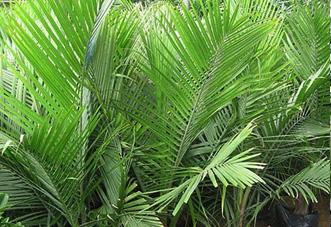 大型(高档)花木 大国王椰子