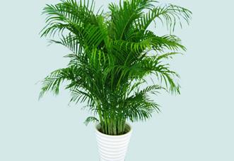 大型(高档)花木 棕竹