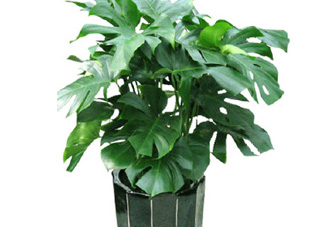 中型花木 龟背竹