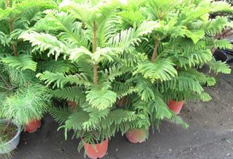 中型花木 南洋杉