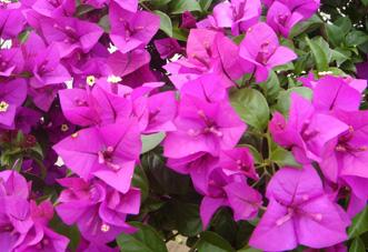 中型花木 三角梅