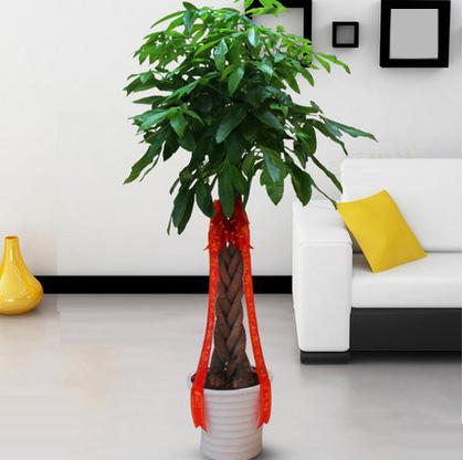 五辫发财树盆栽大型绿植盆栽室内植物办公盆景