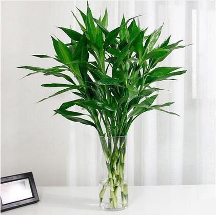 富贵竹水培植物室内净化空气盆栽水养绿植花卉