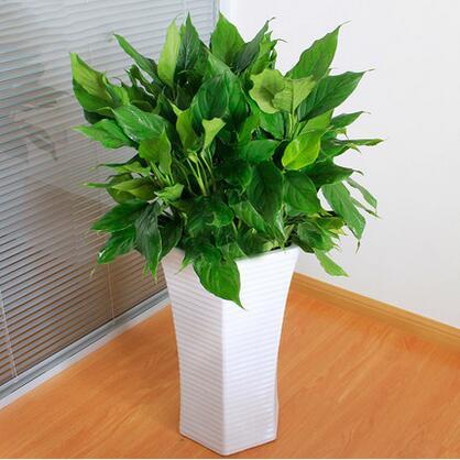 大万年青 室内好养净化空气植物 盆栽花卉室内 吸甲醛植物