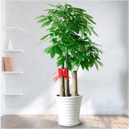 大型发财树盆栽开业乔送礼绿植客厅书房办公室观叶植物园艺
