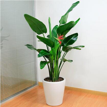 天堂鸟鹤望兰盆栽型客厅大型植物办公室绿化室内花卉绿植