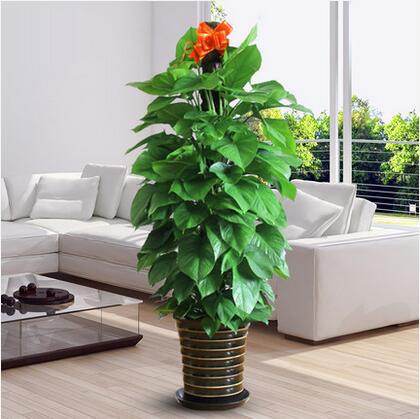 大绿萝盆栽室内客厅办公室净化空气吸甲醛绿植花卉大型植物