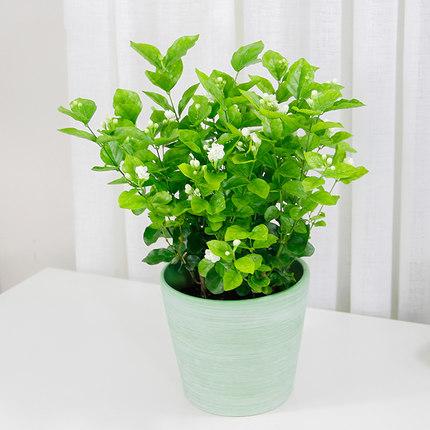 茉莉花盆栽  庭院喜阳绿植室内办公室开花植物