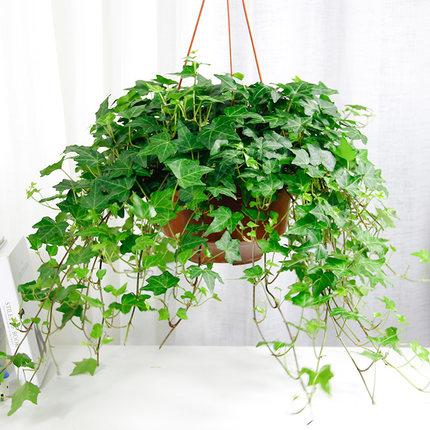 常春藤盆栽室内客厅吊篮花卉空气净化植物盆栽