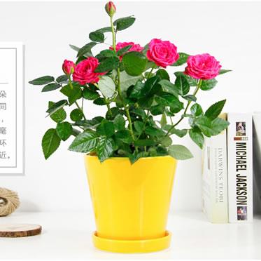 小玫瑰/月季蔷薇盆栽微型桌面 庭院阳台室内花卉植物小花卉