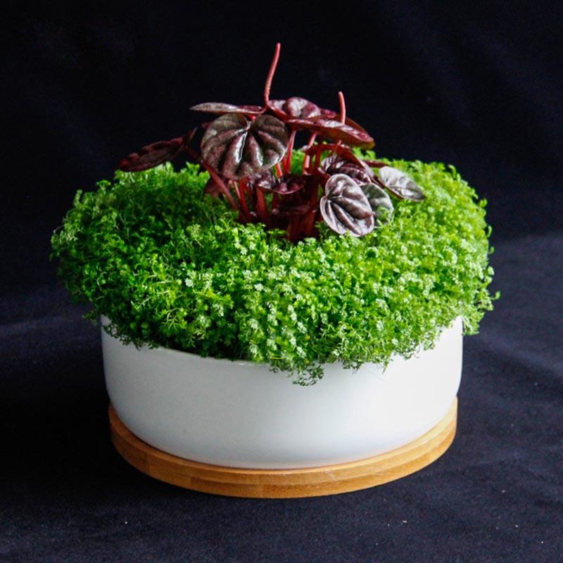 绿植盆栽绿地球办公桌床头卧室阳台小型植物蕨类翠云草