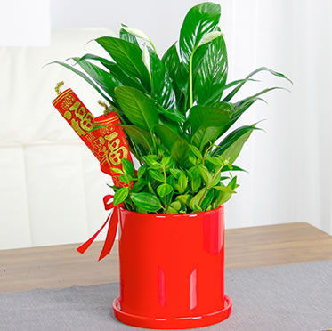 白掌盆栽室内开花植物办公室吸甲醛绿植盆栽