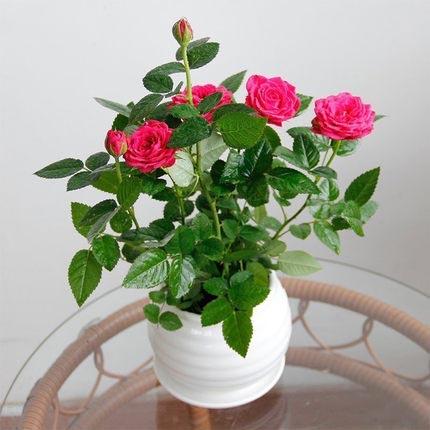 月季盆栽小玫瑰蔷薇带盆植物阳台庭院室内桌面四季循环开花