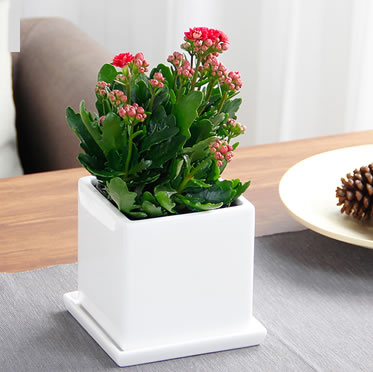 时令鲜花长寿花盆栽开花植物办公桌小绿植花卉