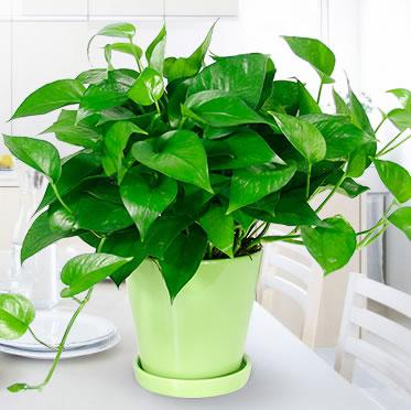 小绿萝盆栽室内好养除甲醛植物办公室净化空气花卉含盆绿植