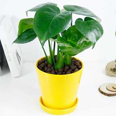 龟背竹盆栽客厅绿植花卉吸甲醛新房植物