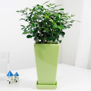 时令植物九里香盆栽 易养植物吸甲醛绿植花卉
