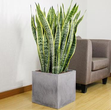 虎皮兰绿植盆栽虎尾兰室内绿化植物办公室吸甲醛好养盆景