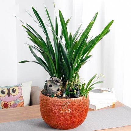 墨兰盆景趣味艺术盆栽办公室庭院观赏植物美观装饰植物景观