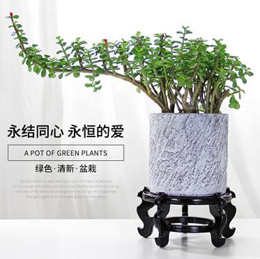 金枝玉叶盆栽多肉金叶丝绵木庭院室内办公桌面趣味绿植花卉