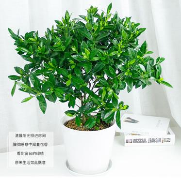 栀子花盆栽植物庭院开花绿植室内桌面防辐射吸甲醛观花植物
