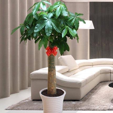 发财树盆栽大型绿植开业乔迁花卉室内客厅办公室绿化植物
