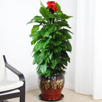 大绿萝盆栽发财树鹤望兰红掌鸿运当头金花深红陶瓷盆绿植