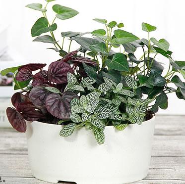 仙客来网纹草红宝石组合盆栽室内桌面趣味微景观生态缸绿植