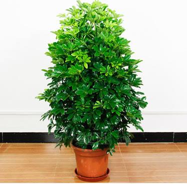 鸭脚木盆栽大型七叶莲绿植盆栽客厅花卉吸甲醛净化空气植物