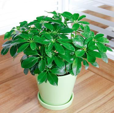 鸭脚木/鹅柴掌盆栽 办公桌小植物 花卉/绿植盆栽 吸尼古丁