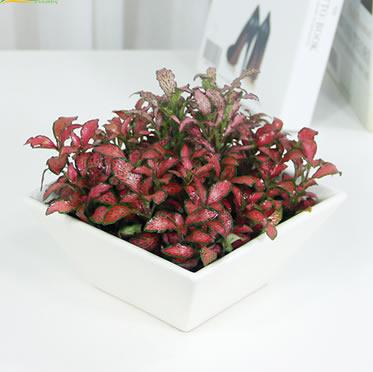 红色网纹草 苔藓微景观 鲜活植物DIY绿植