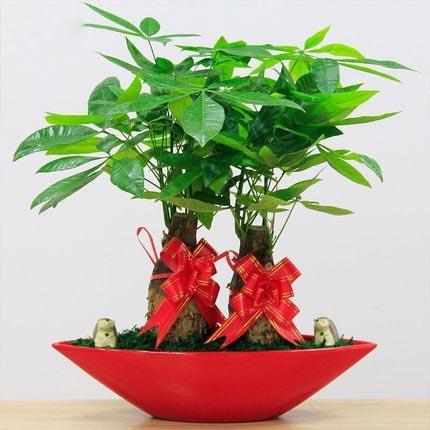 发财树盆栽 懒人绿植盆栽办公室内桌面防辐射绿色植物盆景