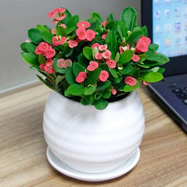时令花卉虎刺梅 开花植物 室内花卉 办公桌小型防辐射盆栽