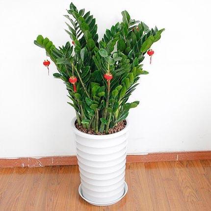 金钱树盆栽 室内植物乔迁开业送礼盆景 花卉 绿植