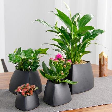 植物盆栽桌面创意绿植网纹草长寿花常春藤文竹白掌金钱树