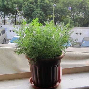 薰衣草盆栽 阳台喜阳光充足环境 净化空气美观盆景