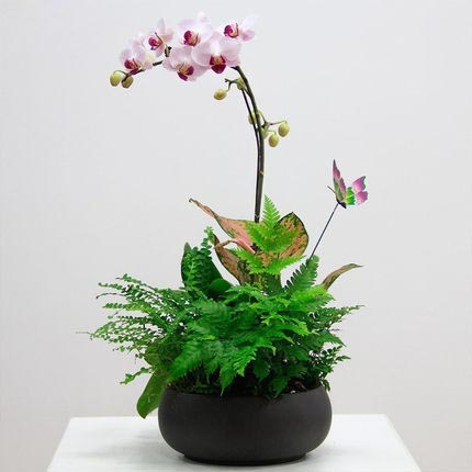 跳舞兰多肉鲜花盆栽蝴蝶兰鲜花室内桌面年宵花植物