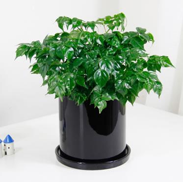 小幸福树盆栽办公桌植物盆栽花卉室内绿植