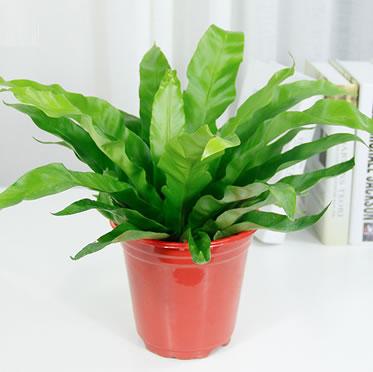鸟巢蕨办公桌小盆栽室内客厅小植物趣味好养吸甲醛绿植花卉
