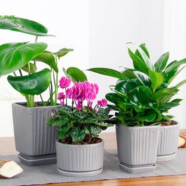桌面小盆栽常春藤芦荟绿萝罗汉松金鱼草白掌豆瓣绿龟背竹