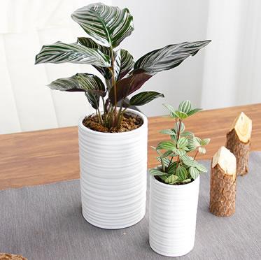 白掌盆栽虎皮兰千年木冷水花双线竹芋优雅白圆柱盆桌面植物