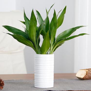 水培富贵竹盆栽室内办公室客厅桌面转运竹植物发财树绿植