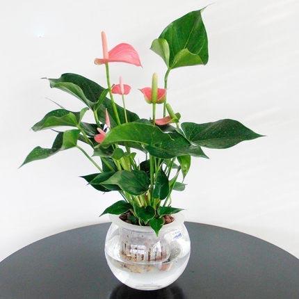 水培粉掌植物室内花卉 办公室开花桌面盆景